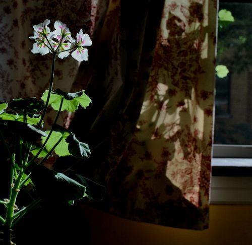 geraniums - bricolagelife 2011